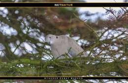 DOF ønsker tyrkerduen fredes for jagt