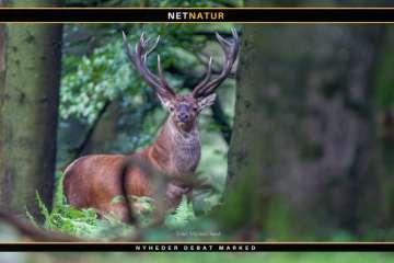 Jagt udlejes i Hvidbjerg Plantage i Thy