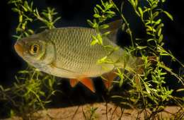 Skallen - en god spisefisk hvis man er en gedde