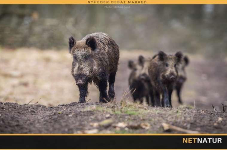 Antallet af vildtulykker med vildsvin stiger i Sverige