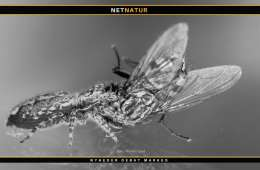 Springedderkop - fluefanger og et studie i jagtteknik