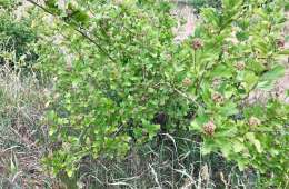 Kend dine vildtplanter: Fjeldribs