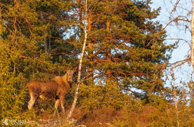 Så lever der atter elg i Nordsjælland
