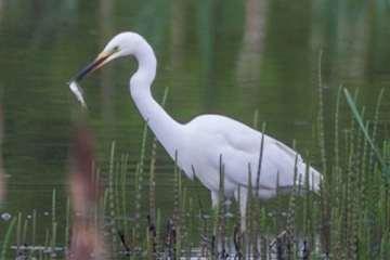 Sølvhejren - breder sig som dansk ynglefugl
