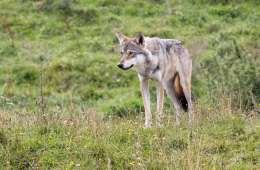 Alt tyder på, at dyret i filmen er en ulv