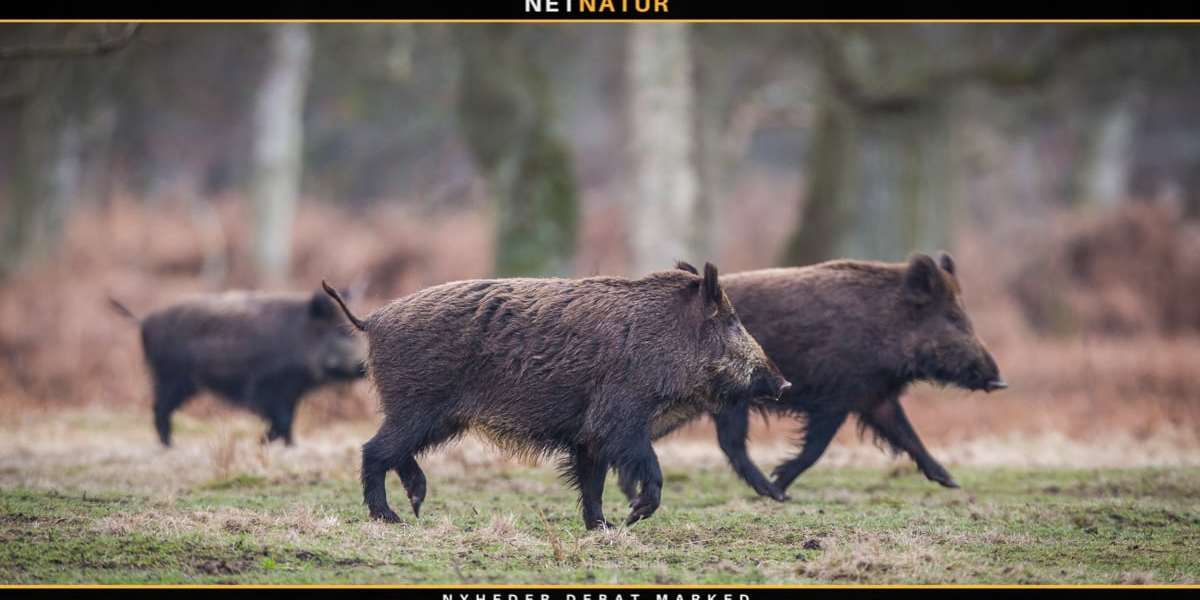 Afrikansk svinepest breder sig