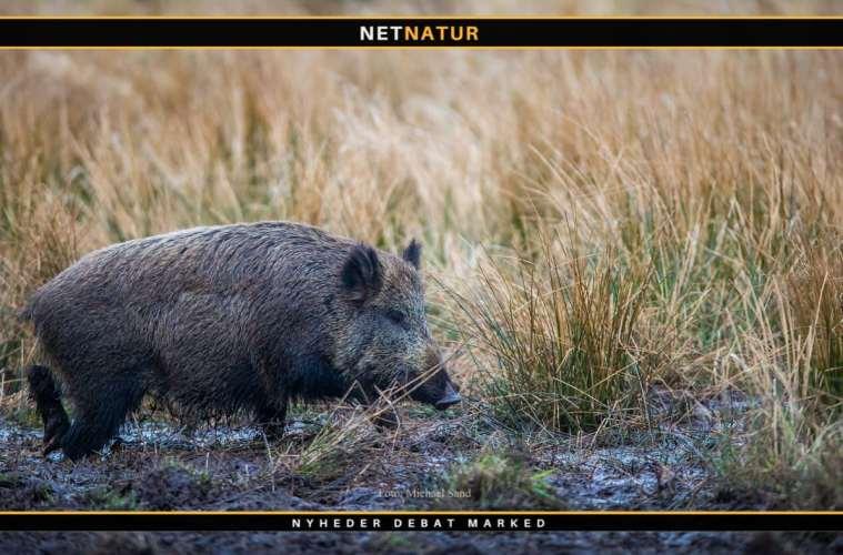 Bulgarien vil bygge vildsvinehegn