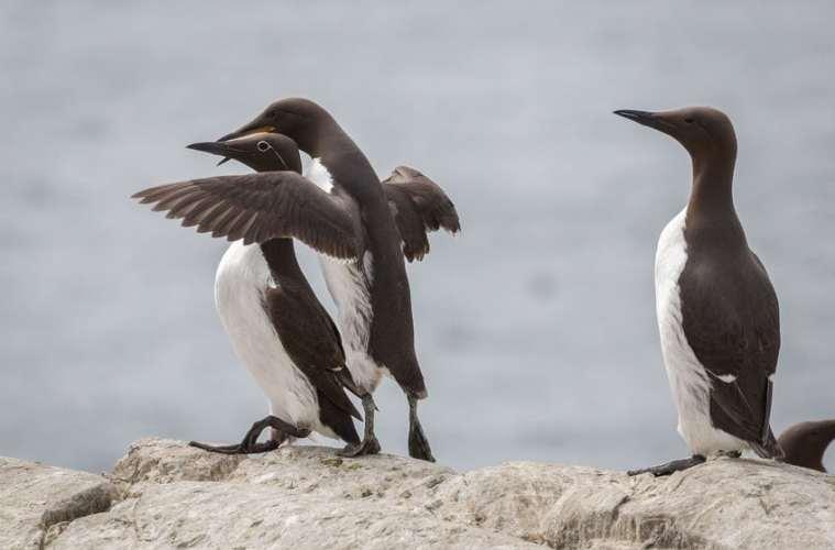 Lomvie - Nordens pingvin
