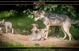 Foreningen Ulvetid vil støtte ulven i Danmark