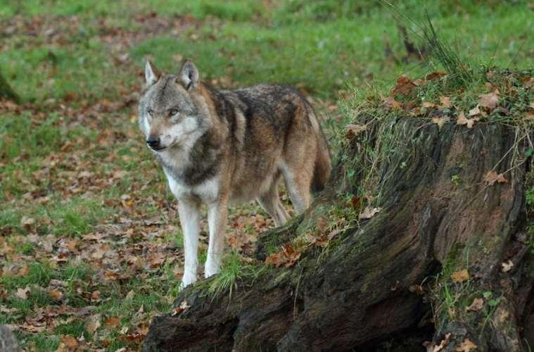 Hvad gør man i tilfælde af formodet ulveangreb på husdyr?