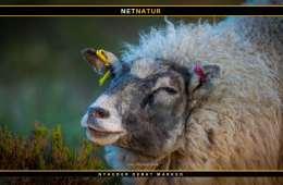 Guldsjakal dræbte naturplejefår