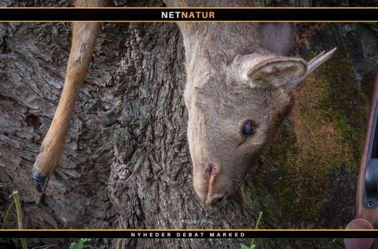 Brocket deer i Mexico