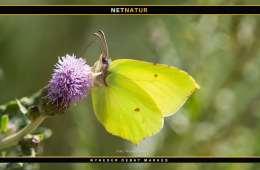 Varm sommer giver flere sommerfugle