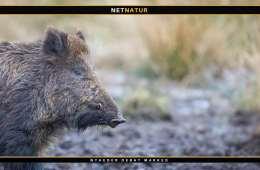 Dyrlæge i fødevarestyrelsen: Kun et spørgsmål om tid før Danmark rammes af afrikansk svinepest