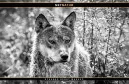 Hvor mange ulve er der i Danmark?