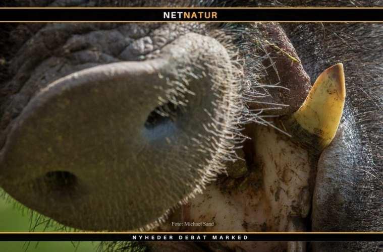 Flere vildsvinet smittet med afrikansk svinepest