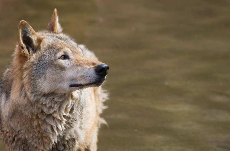 Mindst ti ulve i Danmark i andet halvår 2019