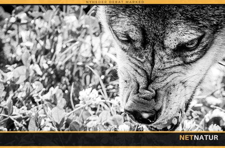 Mand bidt af ulvelignede dyr