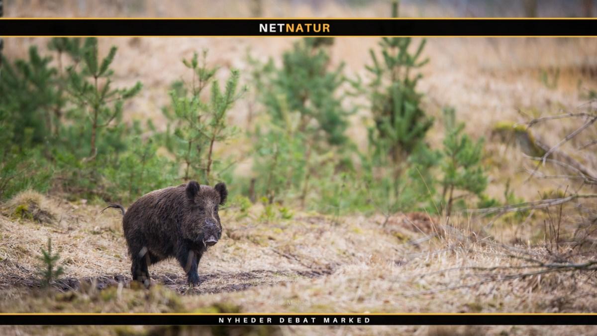 Jagten på de sidste danske vildsvin fortsætter