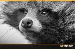 Ny tilskudspulje til udstyr til bekæmpelse af mårhund