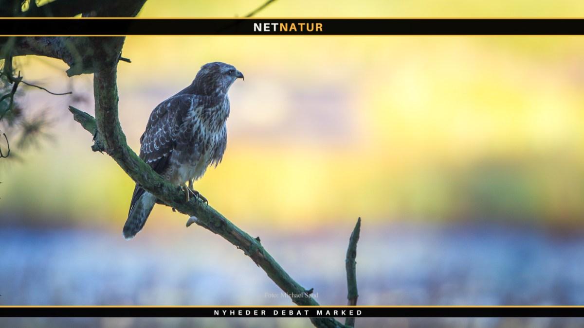 Fugleinfluenza fundet i to rovfugle på Sjælland