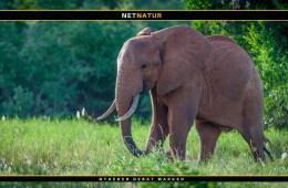 Botswana genovervejer sit forhold til jagt på elefanter