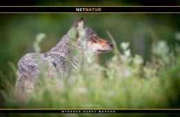 Ny ulv i Danmark