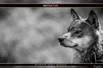 Dataudveksling med Tyskland omkring de danske ulve