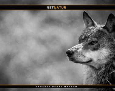 Danske ulves forsvinden omgæret af mystik