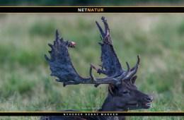 Film om jagt på en sort dåhjort