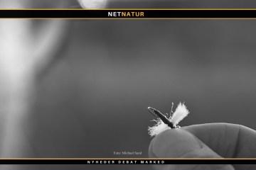 Video stiller skarpt på havørreder og tørfluer