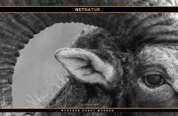 Jagt på muflon