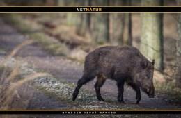 Vil EU-kommissionen kræve opsættelse af vildsvinehegn stoppet?