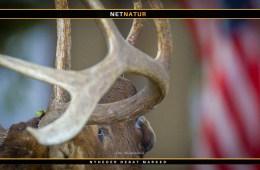 Fik 132.000 kr. i bøde for at fortie, at han havde skudt en moose uden tilladelse