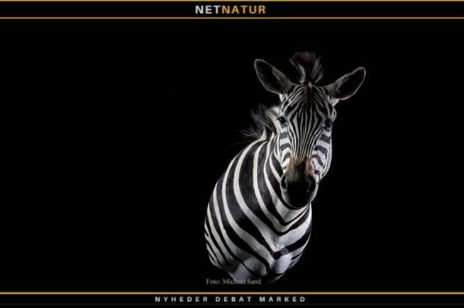 Zebra taxidermist