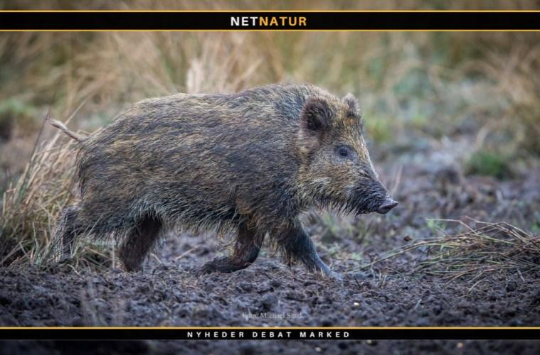 Rekordafskydning af vildsvin i Niedersachsen