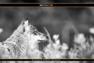 Ny forbedret metode til identificering af ulvehybrider