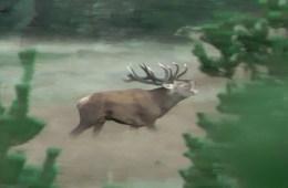 Kastet hjort