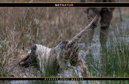 Water tail - halelammelse hos hund