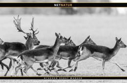 Australien - hjortevildt