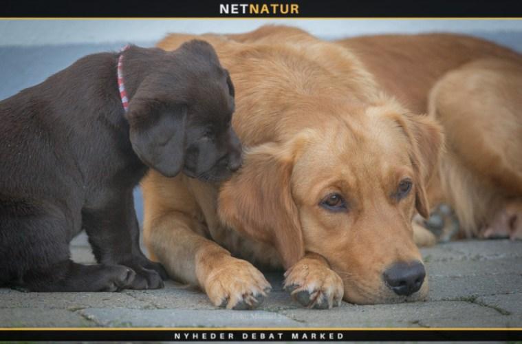Hjertelungeorm hos hunden