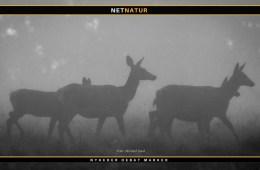 Ulv jager kronvildt