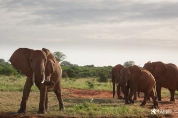 Skal der være elefanter i danske natur. Det mener DCE er en mulighed