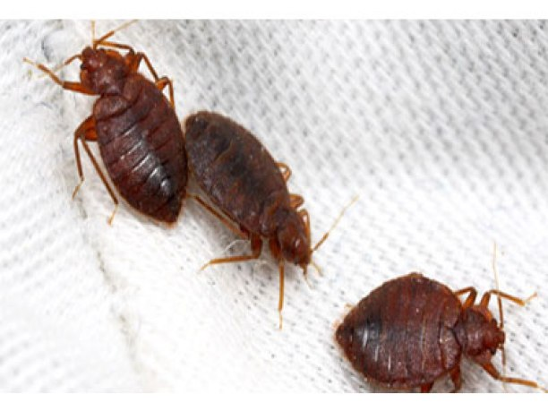 Identifying bed bug symptoms to avoid nuisance