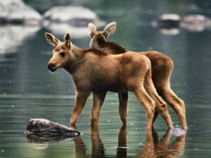Maine State Animal Moose Alces Alces From Netstate Com