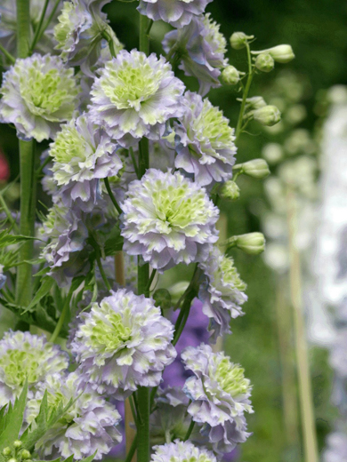 Delphinium highlander 'Chrystal Delight'