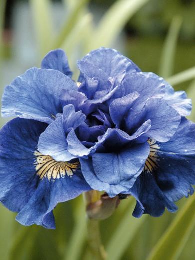 Iris sibirica 'Concord Cruch'