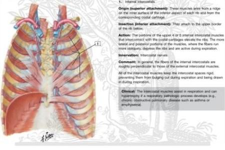 Interior Costal Muscle Free Interior Design Mir Detok