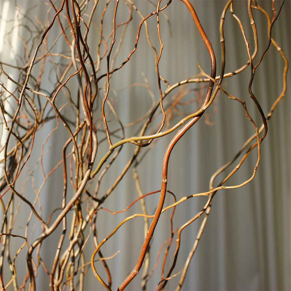 Fresh Green Curly Willow Branches