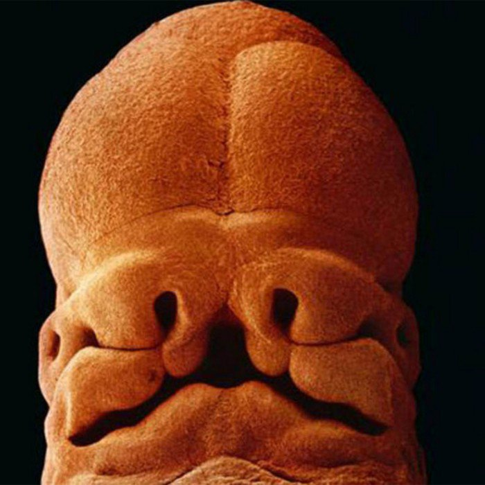 magazine-life-evolution-embryon-5-semaines